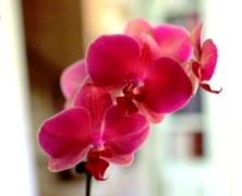 Орхидея фаленопсис в домашних условиях