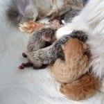 Сколько длится беременность у кошек