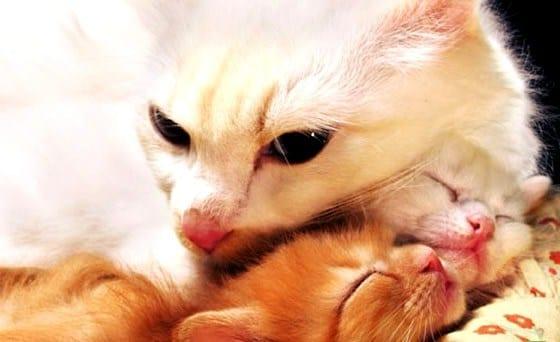 Беременность кошки сколько длится