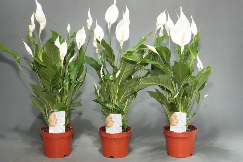 Уход за цветком спатифиллум пересадка