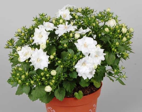 Комнатные растения с белыми цветами названия и фото