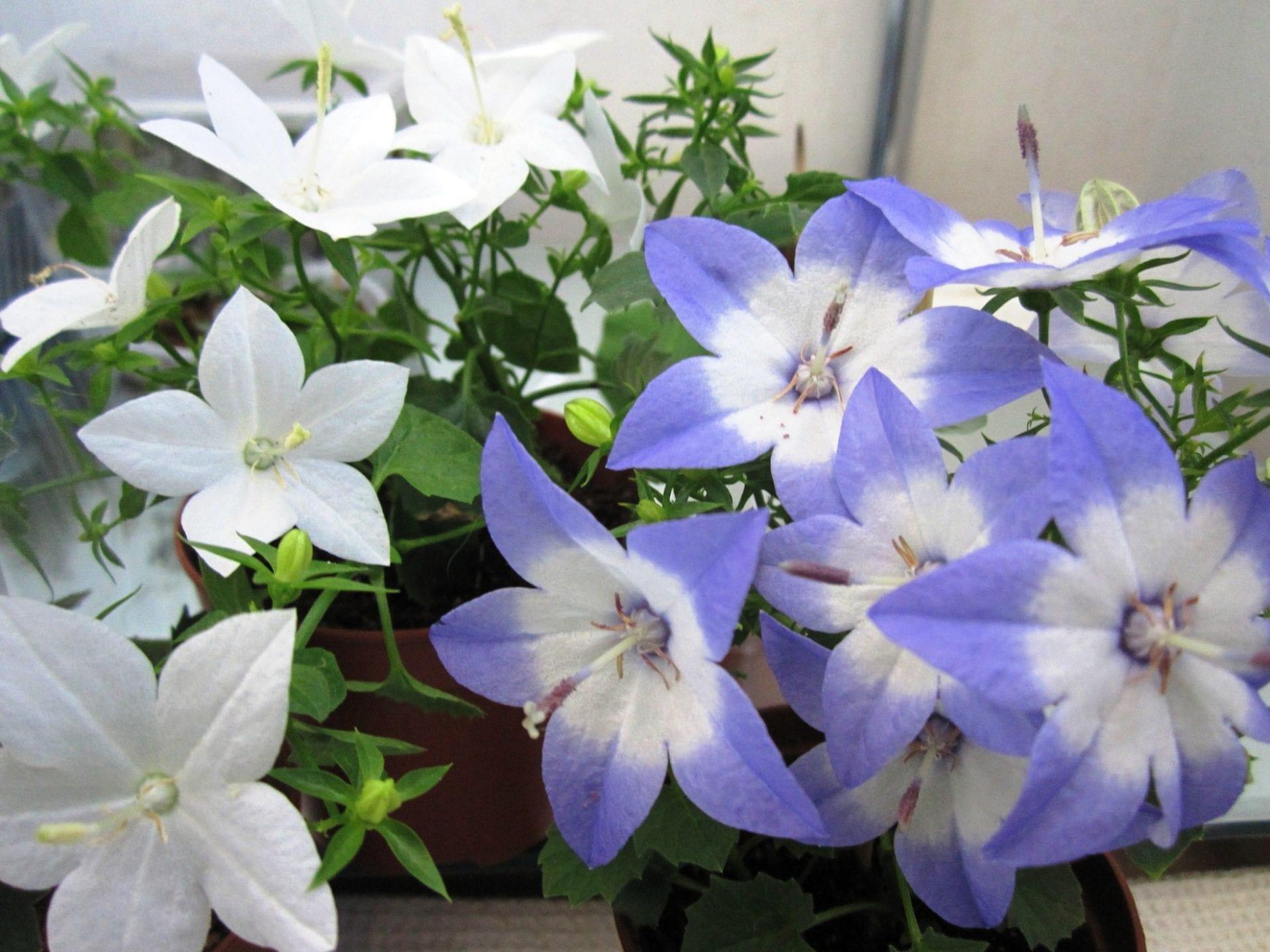 Комнатный цветок белая невеста