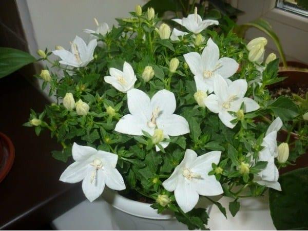 Цветок сорт невеста