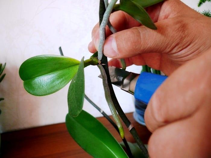 Выращивание фаленосписа дома