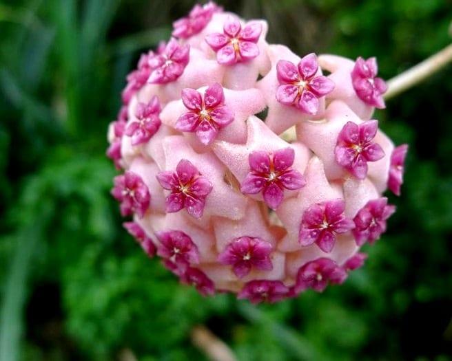 Цветет восковой плющ очень красиво