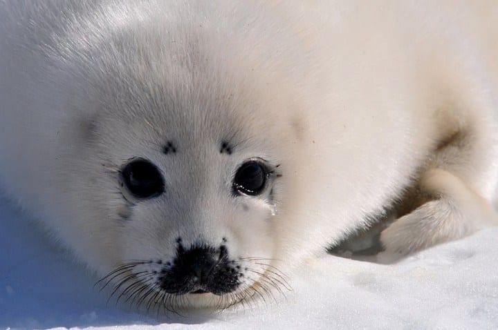 Бельки - детеныши тюленя