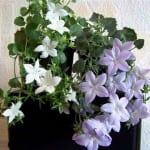 """Цветки """"Жениха и Невесты"""""""