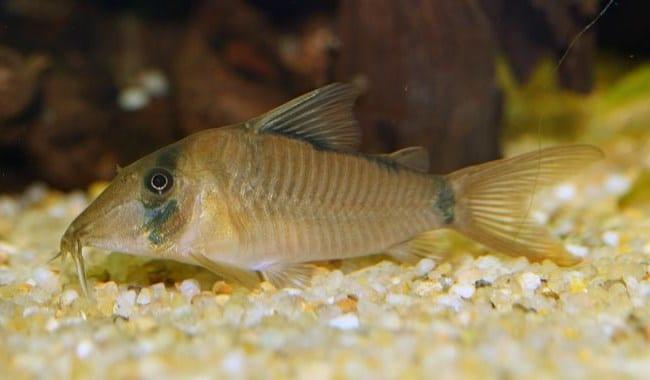 Смешные аквариумные рыбки