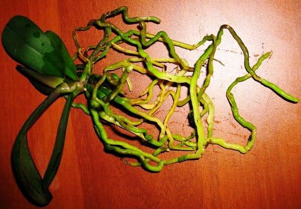Длинное корневище цветов