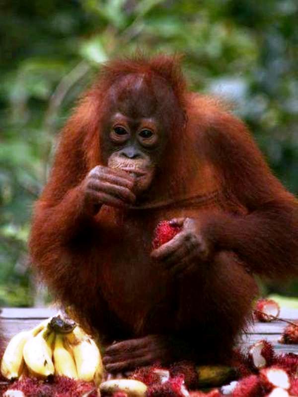 Чем питаются обезьяны
